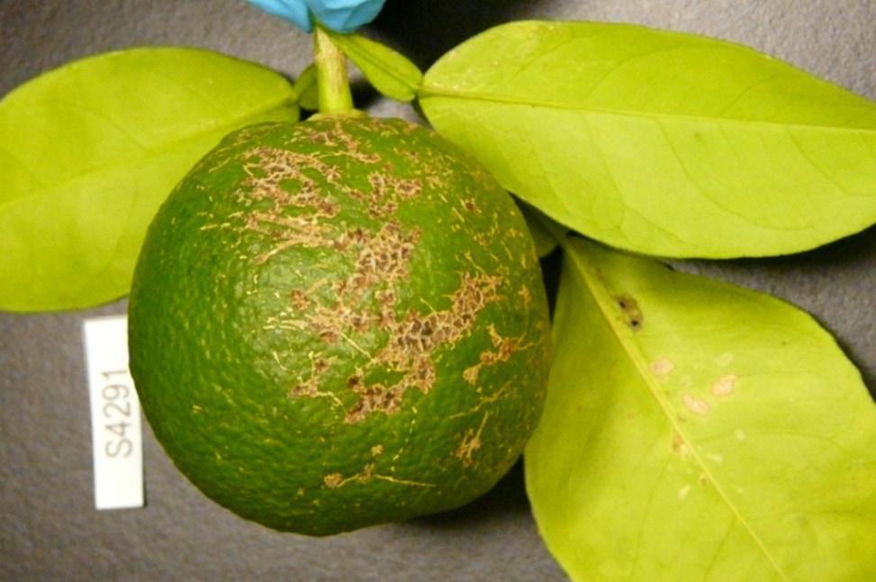 Louisiana Home Citrus Production Lsu Agcenter